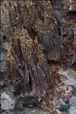 Image of Cosmospora coccinea