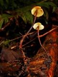 Xeromphalina fulvipes image