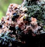 Marchandiobasidium aurantiacum image