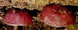 Callistosporium terrigenum image