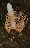 Phallus multicolor image