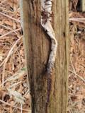 Caulorhiza umbonata image
