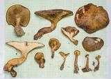 Boletinellus monticola image
