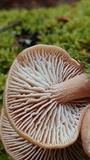 Neolentinus adhaerens image
