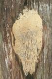 Antrodia juniperina image
