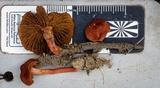 Cortinarius kula image
