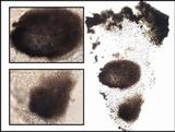 Dactylospora parellaria image