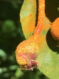 Gymnosporangium libocedri image