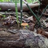 Pholiota subsulphurea image
