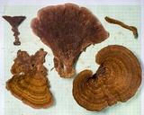 Stiptophyllum erubescens image
