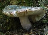 Russula griseoviridis image