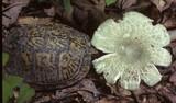 Russula parvovirescens image