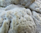Trametes pubescens image