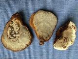Ganoderma zonatum image