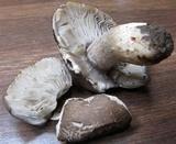 Melanoleuca angelesiana image