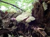 Lyophyllum decastes image