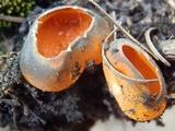 Caloscypha fulgens image