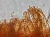 Cudoniella clavus image