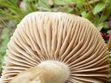 Hebeloma cistophilum image
