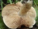 Hebeloma cavipes image