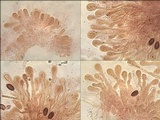 Hebeloma lutense image
