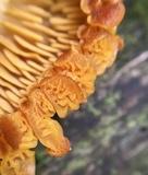 Tricholomopsis decora image