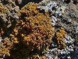 Caloplaca coralloides image