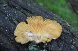 Pleurotus populinus image