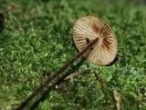 Rhizomarasmius pyrrhocephalus image