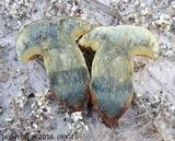 Alessioporus rubriflavus image