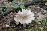 Megacollybia rodmanii image
