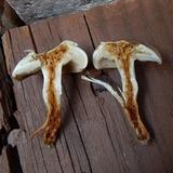 Pholiota angustipes image