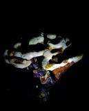 Ganoderma multipileum image