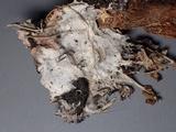 Athelia bombacina image