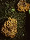 Gautieria morchelliformis image
