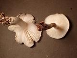 Megacollybia fallax image