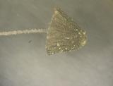 Mycena chloroxantha image