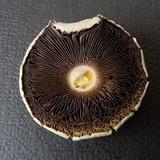 Agaricus floridanus image