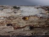 Stictis ostropoides image
