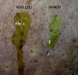 Boletus carminiporus image