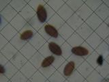 Coprinellus plagioporus image