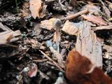 Mycena amicta image