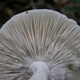 Amanita maryaliceae image