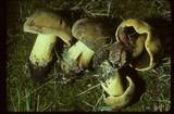 Boletus subgraveolens image