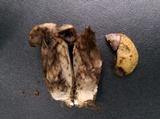 Leccinum luteum image