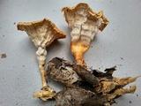 Cymatoderma caperatum image