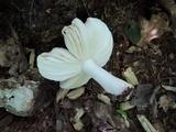 Russula rosea image