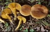 Cortinarius incognitus image
