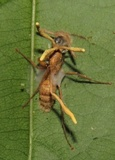 Image of Ophiocordyceps lloydii