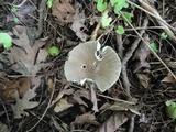 Amanita rhacopus image